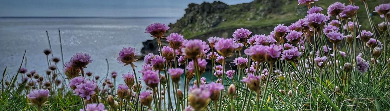 Clifftop Flowers in Cornwall